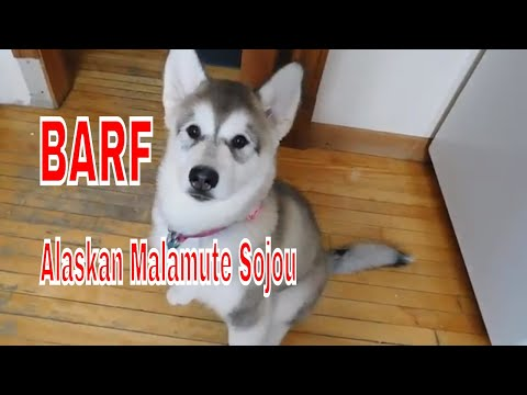 Alaskan Malamute Puppy Loves her Bone and Raw Food Diet