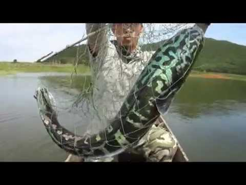 Massive MAMA Toman !!! Giant Snakehead !!! Wild Fishing Thailand By BKKGUY