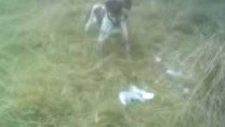 Funny/mad Gsp German Shorthaired Pointer