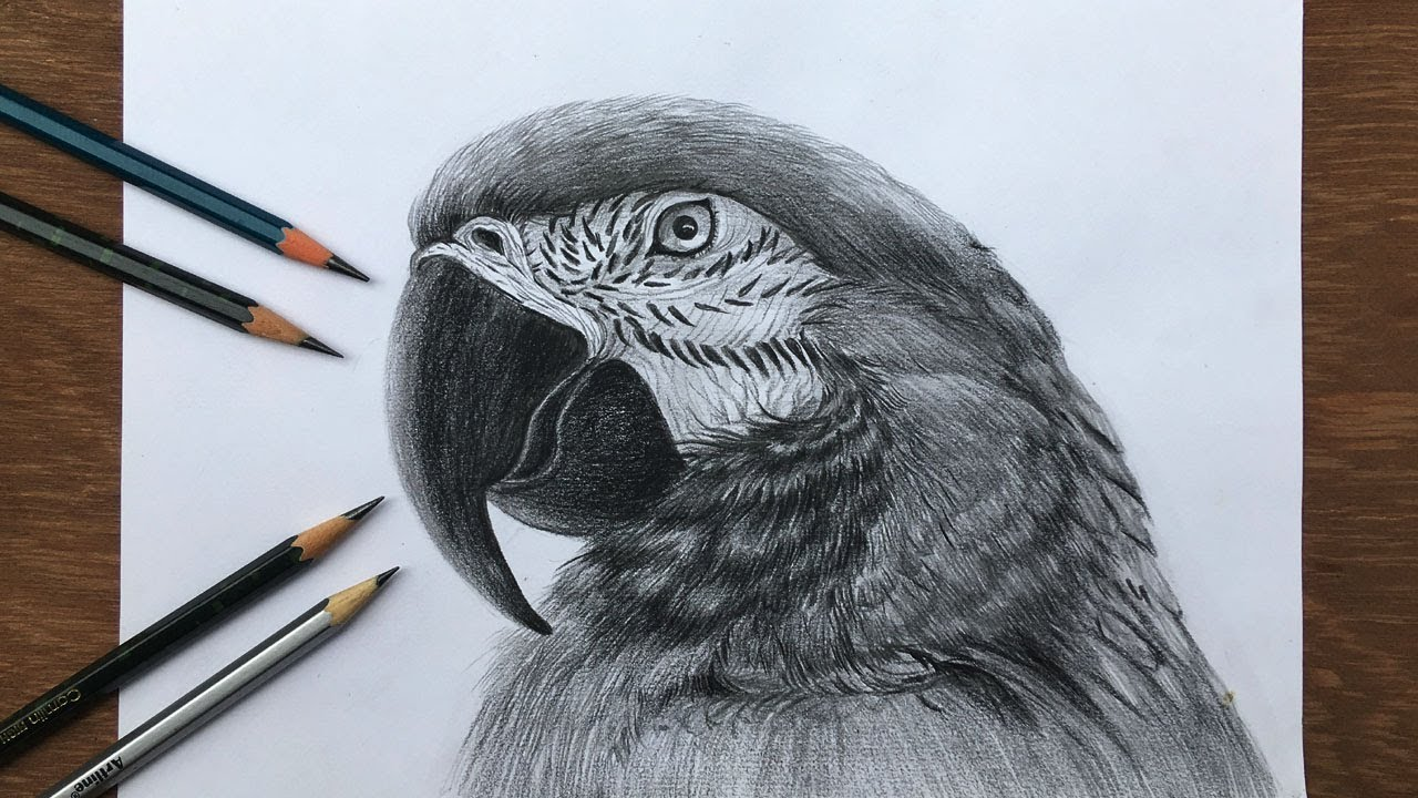 How To Draw A Realistic Macaw In Pencil