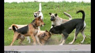 Дрессировка собак Атака дворовых собак