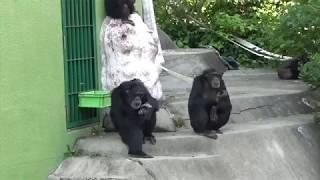 日本モンキーセンターのチンパンジーの群れ飼育 0:31までのアダルト雄 ...