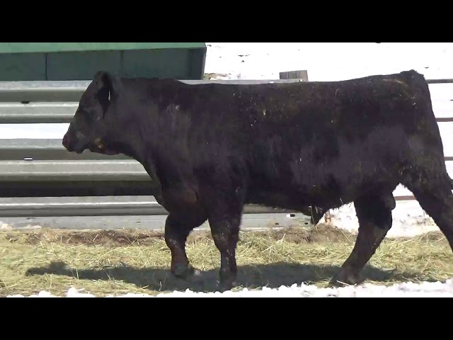 Connealy Angus Lot 424