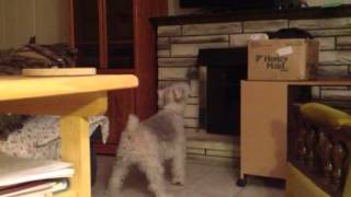Wire Hair Fox Terrier Barking At Movie