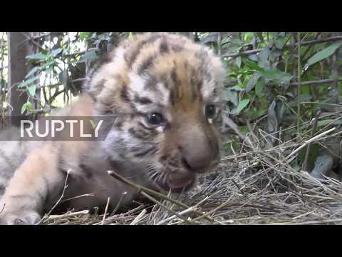 Russia: New-born Amur tiger TRIPLETS find their feet at Belogorsk safari park