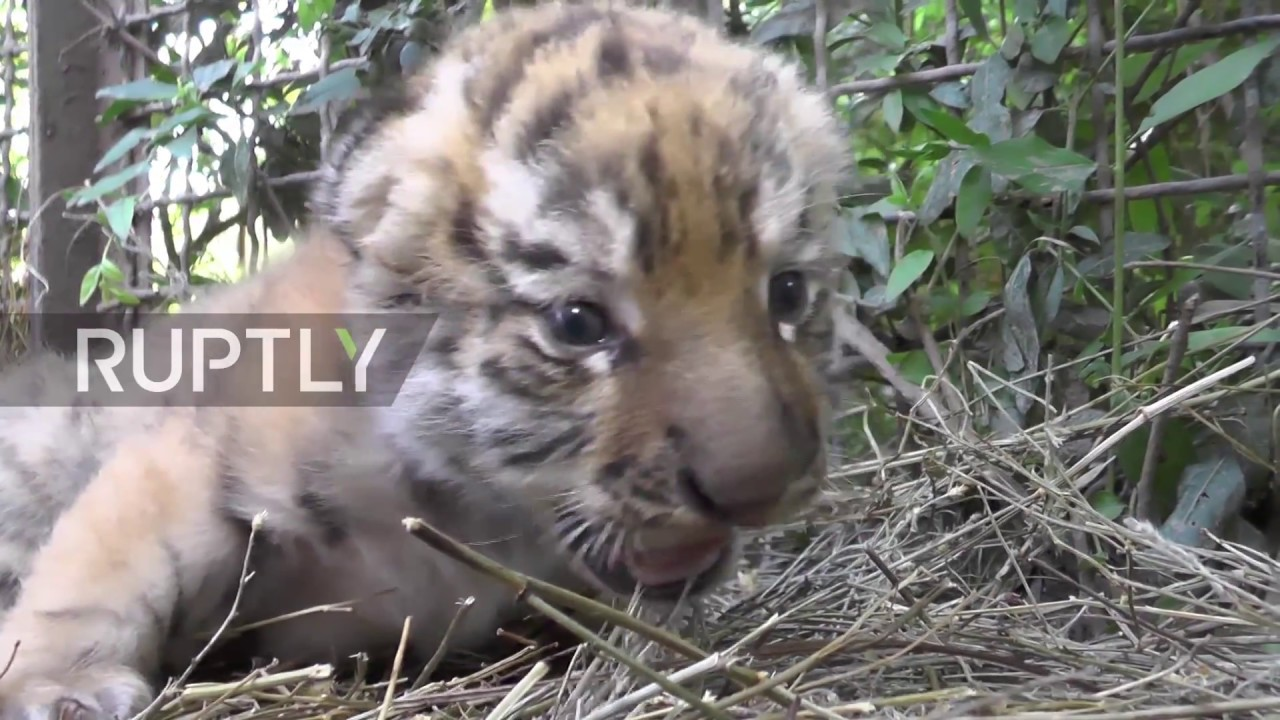 Russia: New-born Amur tiger TRIPLETS find their feet at Belogorsk safari park