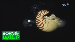 Born to Be Wild: Nautilus, the oldest shell species