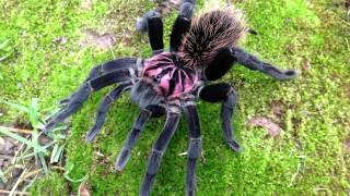 ТОП-10.Самые большие пауки.