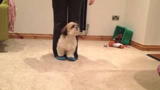 Shih Tzu Walking On My Feet