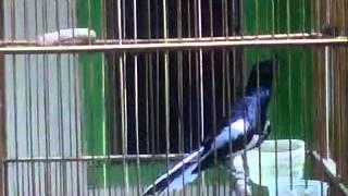 Burung kacer poci giras mapan harian ngriwik ngeplong tarung