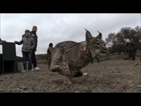 Iberian lynx returns to the wild