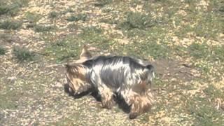 Teacup Chelsea, Yorkshire Terrier
