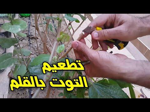 تطعيم شجرة التوت طريقة القلم Youtube