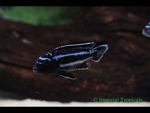 Maingano Cichlids Breeders at Imperial Tropicals