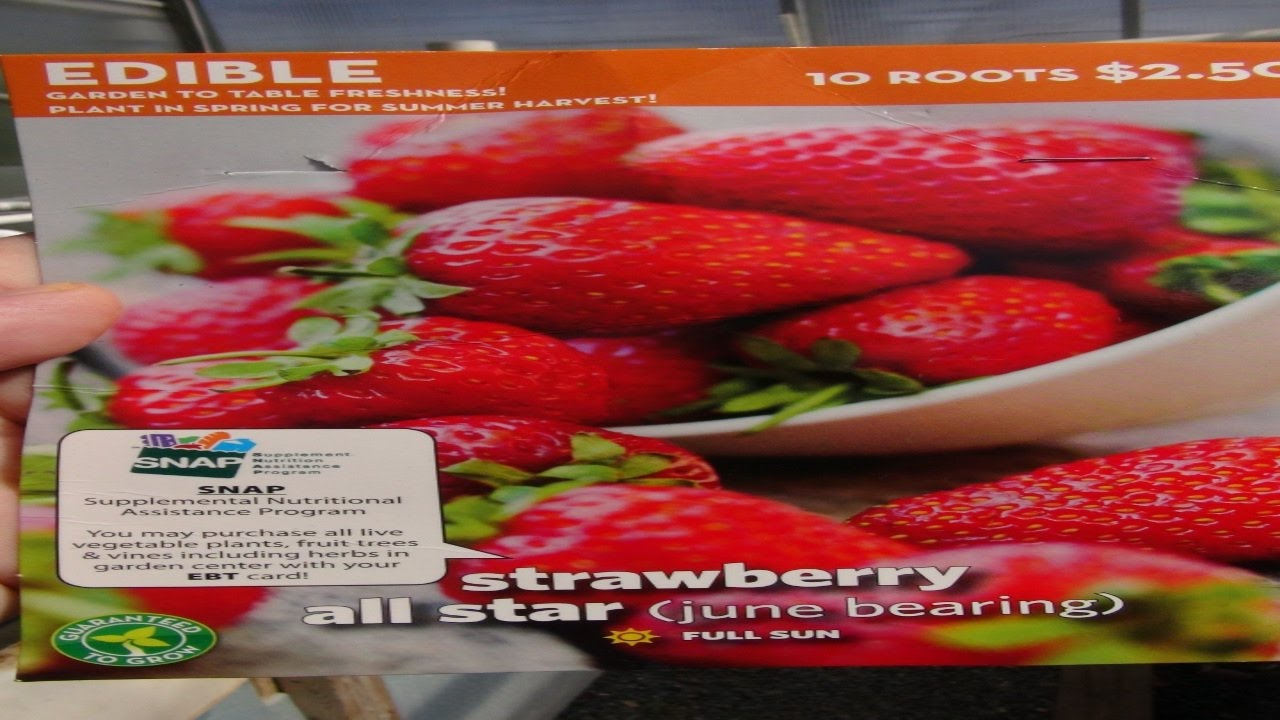 ⟹ ALL STAR STRAWBERRY | Fragaria ananassa | Another great find at Walmart
