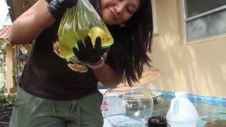 East Coast Ranchu Unboxing Goldfish (May 2016)
