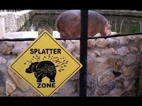 Hippo fart splatters explosive diarrhea everywhere