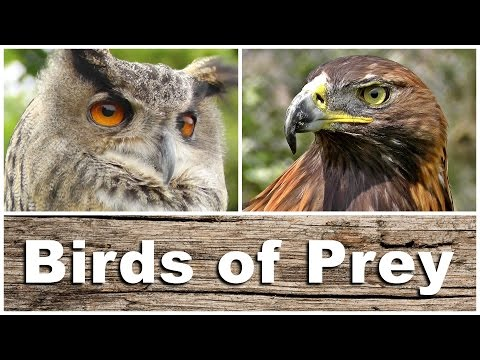 Birds of Prey - Kestrel, Sparrowhawk, Golden & Bald Eagle, P