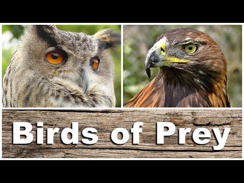 Birds of Prey - Kestrel, Sparrowhawk, Golden & Bald Eagle, Peregrine Falcon, Tawny Owl and More
