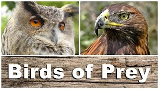 Birds of Prey - Kestrel, Sparrowhawk, Golden & Bald Eagle, Peregrine Falcon, Tawny Owl and More