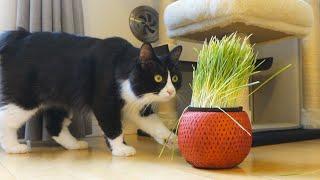 これは8月の終わりに撮影した動画です。 はじめて目にした猫草は チコ...