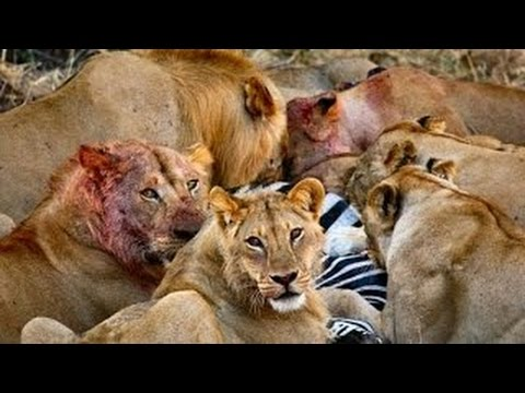 Documentary Best New Series Lion Wars Documentary ★ Documentary National Geographic