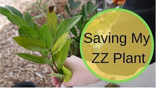 Potting houseplants, a plant haul, and saving my zz plant from root rot