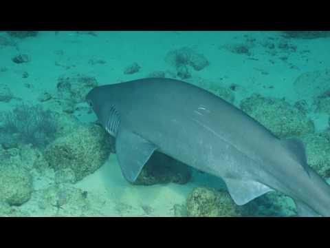 #SharkWeek Special Release: Sixgill Sharks Of Osborn Bank | Nautilus Live
