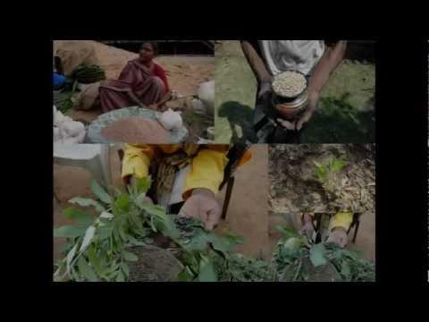 Medicinal Rice P5 Formulations for Kingiodendron Overdose: Pankaj Oudhia's Medicinal Plant Database