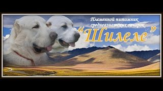 """""""Шилеле"""" - щенки от Набиры и Гули"""