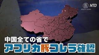 中国全ての省でアフリカ豚コレラ確認 今年下半期は豚肉価格高騰が予想