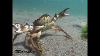 © Краб-убийца в Черном море... (шучу)(Черноморский травяной краб Carcinus mediterraneus. Агрессивный самец в случае опасности может довольно больно цапну..., 2015-06-04T18:15:15.000Z)
