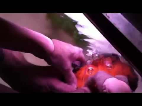 Piercing A Swim Bladder In An Oscar Youtube