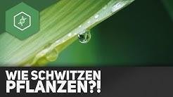 Transpiration: Wie schwitzen Pflanzen?! ● Gehe auf SIMPLECLUB.DE/GO & werde #EinserSchüler