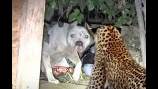 Fearless mom fights off a leopard to protect its pup!!!