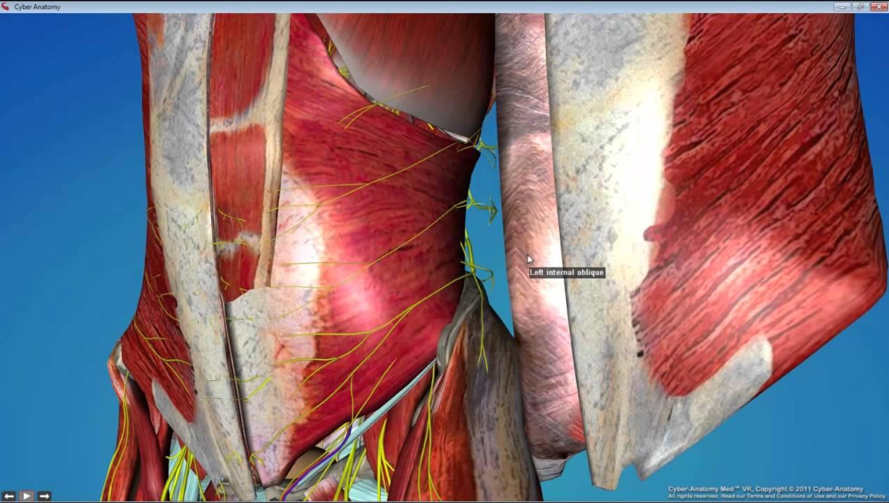 Dental Gross Anatomy Lab 3 Anterior Abdominal Wall - YouTube