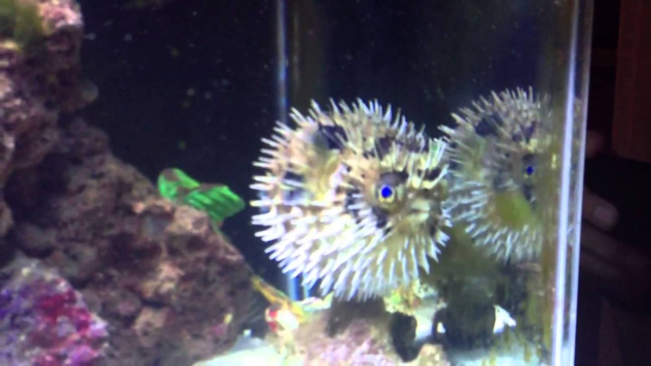 Pufferfish puffs up youtube for Puffer fish puffing