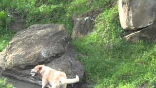 Собачьи бои, Лимузин кавказская овчарка.