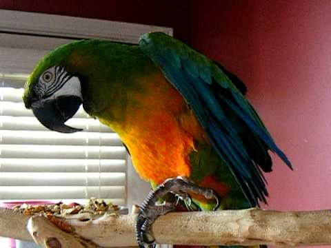 AMAZING VIDEO OF CAGE BOUND MILLIGOLD MACAW BECOMING TAME AND HUMANIZED