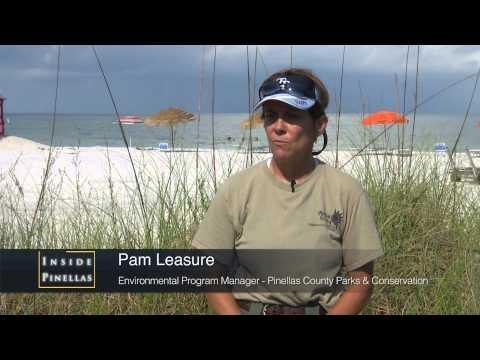 Australian Pine Tree Removal from Fort De Soto Beach