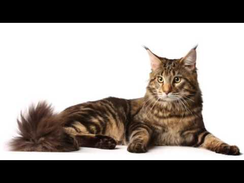 Beautiful photos of Manx cat breeds