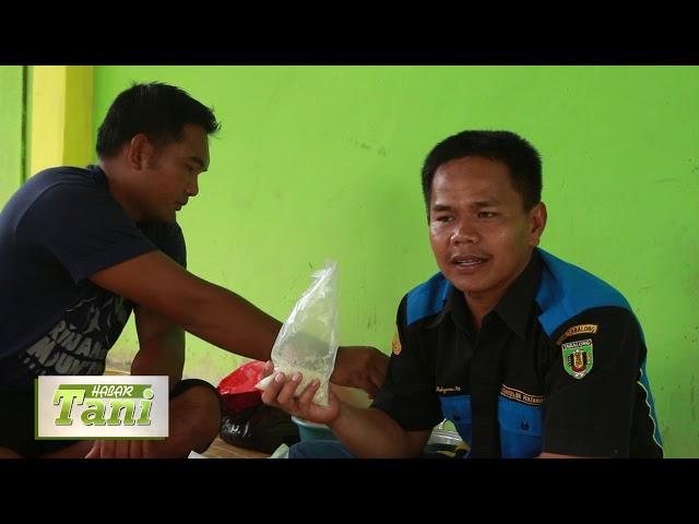 Habar Tani Episode 1 - Pembuatan Tricoderma untuk Tanaman Bawang Segmen 3 #TV Tabalong