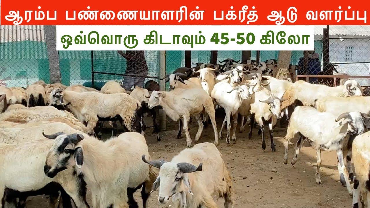 Bakrid sheep farming for beginners   AL-MOHAMED GOAT FARM   Bakrid sheep in Tamilnadu