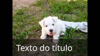 Cachorros Pequenos, Filhotes A Venda, West Highland White Terrier