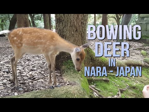 Bowing Deer in Japan!