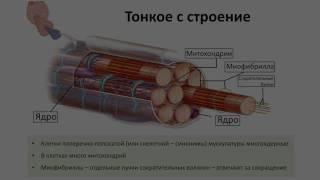 9. Опорно двигательная система мышцы (8 класс) биология, подготовка к ЕГЭ и ОГЭ