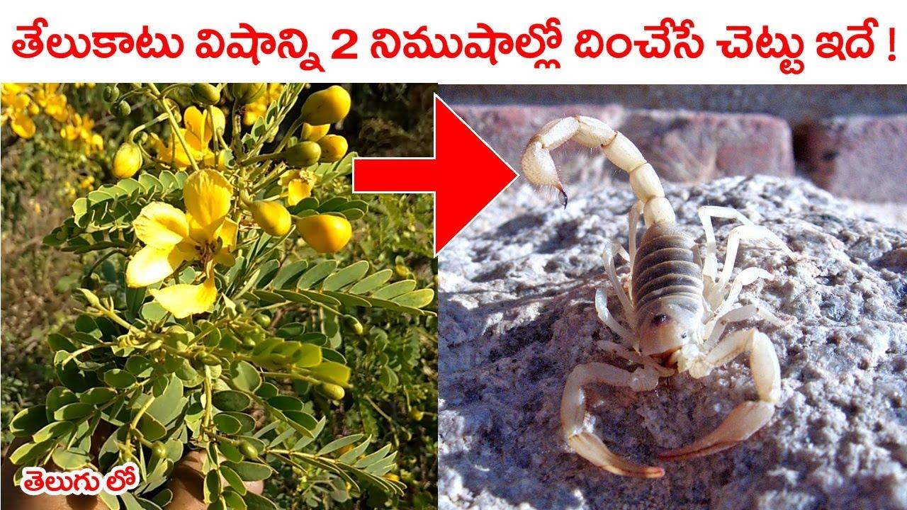 తేలుకాటువిషాన్ని 2 నిముషాల్లో దించేసే చెట్టు ఇదే !    Telu Katuku Virugudu    Tangedu Chettu