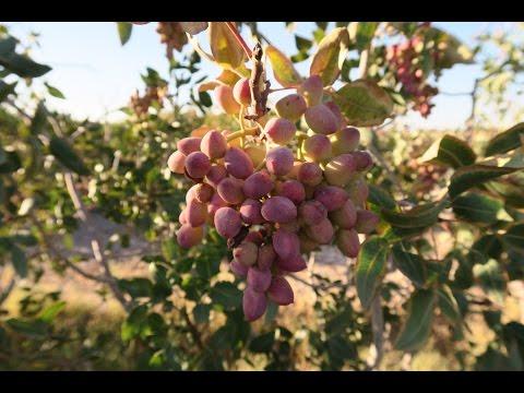 Day 7: Pistachio fields of Iran