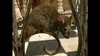 deshnoke infamous Karni Mata rat temple in bikaner district, rajasthan, India (pt 3)
