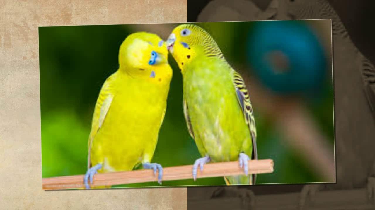 اجمل طيور الحب الهولندي الجزء 18 The Most Beautiful Dutch Love Birds عالم الحيوان Youtube